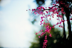 Hana kanzashi (moaan) Tags: life leica 50mm dof blossom bokeh f10 kobe utata noctilux blossoming february ume mikage leicam7 2010 m7   japaneseapricot fujivelvia100 umeblossom rvp100 inblossom  umetree  inlife  leicanoctilux50mmf10 endoffebruary  gettyimagesjapanq1 gettyimagesjapanq2