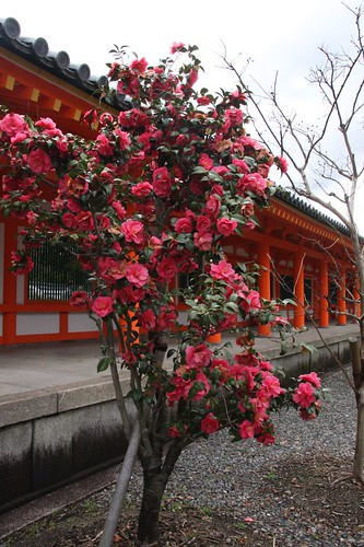 境内の椿 The camellia of the precincts