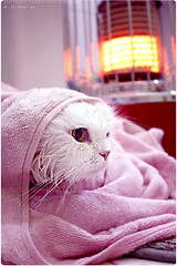 my cat after shower ^.^ (Al HaNa Al Junaidel  =)) Tags: cat canon shower al cut hana after toto alhana