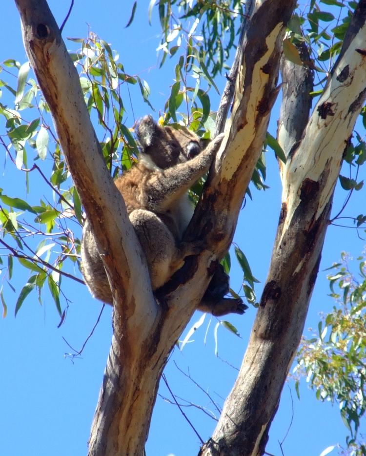 fat koala
