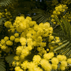 Mimosa 2010#1 (tearoom) Tags: park flowers yellow japan spring osaka mimosa ricoh acacia grd grd2 grdii