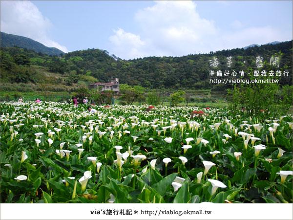 【2010竹子湖海芋季】陽明山竹子湖海芋季~海芋盛開囉!12