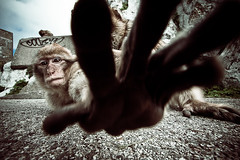 Barbary macaque (emjanda) Tags: wild portrait nature face animal animals monkey surreal research contact behavior gibraltar apes closer biodiversity primates macaque barbary animalportrait behaviour primatology macaca barbarymacaque macacasylvanus ethology sylvanus creepyediting