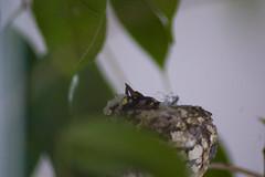 Babies_Hummingbird_20100322_0155