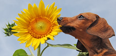 sunflowerhund (jr247.net) Tags: flowers summer dog nature miniature australia sunflower dachsund rommel k9 impressedbeauty