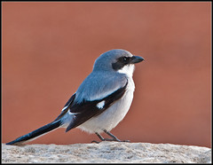 Loggerhead Shrike (Roy Brown Photography) Tags: favorite brown mountains bird nature ecology roy birds georgia photography nikon wildlife watching north birding favorites conservation american swamp albany aba fav nikkor habitat society favs gos loggerhead association toa physiography manfrotto dougherty watcher wimberley buckhorn audubon shrike lowepro d300 gilmer ellijay ludovicianus lanius losh ornithological whitepath physiographic roybrown d300s chickasawhatchee roybrownphotography lanlud