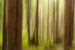 Redwood impressions (Clay Carey) Tags: county abstract forest humboldt community sony redwood a200 arcata impressionist icm intentionalcameramovement