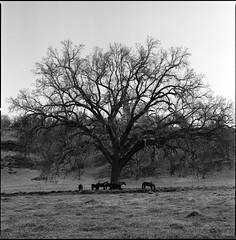 Cholame Valley Oak (Summicron20/20) Tags: 6x6 zeiss kodak hasselblad expired f4 cf 220 plusx sonnar 125px 501cm 150mm