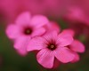 oxalis (helen sotiriadis) Tags: pink flower macro green closeup canon weed published dof bokeh depthoffield oxalis canonef100mmf28macrousm canoneos40d toomanytribbles