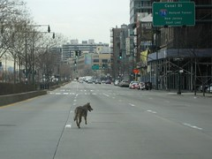 Coyote Capture in Lower Mahnattan (buff_wannabe) Tags: coyote nypd policecar chase unusualincident