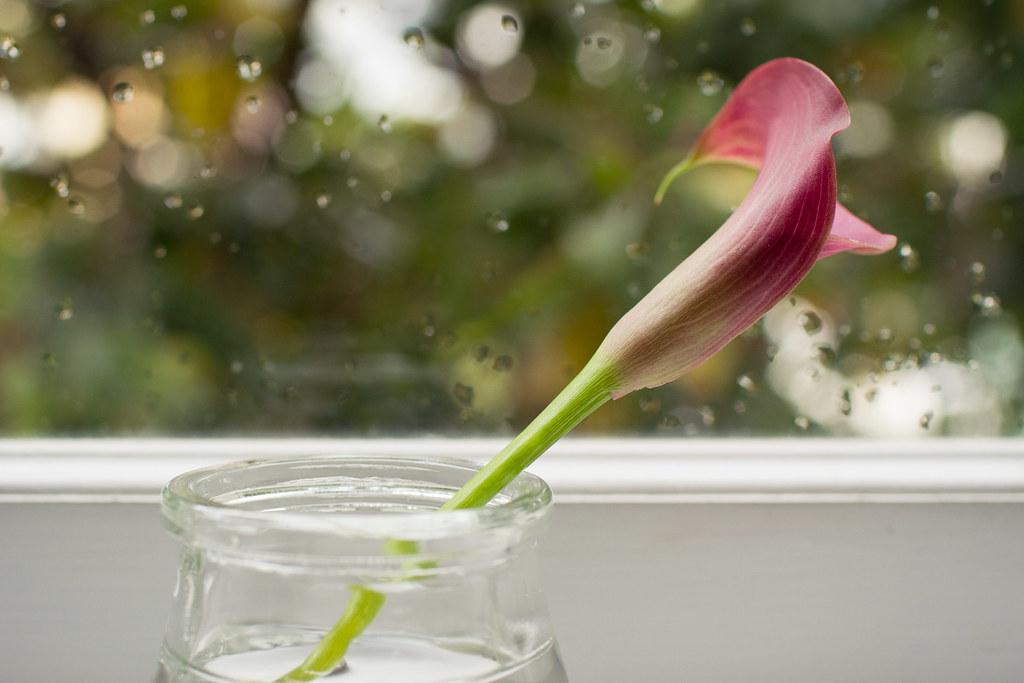 mini calla lily
