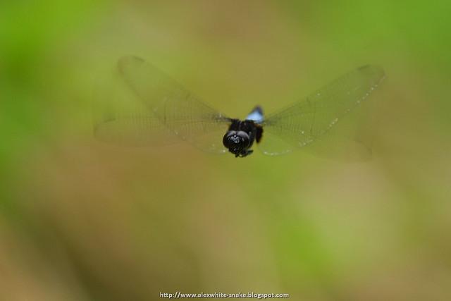 鼎脈蜻蜓 雄 飛翔