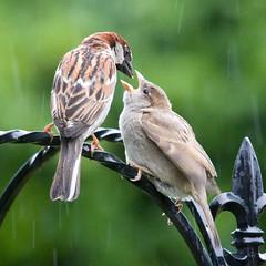 House Sparrow banquet (Clive_Bushnell) Tags: uk house nature birds canon garden eos adult feeding wildlife sparrow clive extender bushnell fledgeling 40d ef2x clivebushnell ef300mm28lis