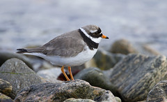 _0862 Ringed Plover (Dave @ Catchlight Images) Tags: nature wildlife islands shetland plover ringed scotland wader birds bird