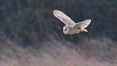 Barn Owl (KHR Images) Tags: barnowl barn owl wild bird birdofprey cambridgeshire fens fenland inflight flying eastanglia wildlife nature nikon d500 kevinrobson khrimages