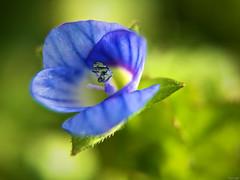 Pequeñeces 2 (Luicabe) Tags: airelibre azul bokeh cabello enazamorado estambre exterior flor hierba hoja luicabe luis macrofotografiìa naturaleza peìtalo planta pradera profundidaddecampo verde yarat1 ngc macrofotografía pétalo