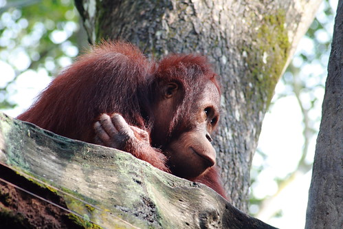 orangutan deep in thoughts