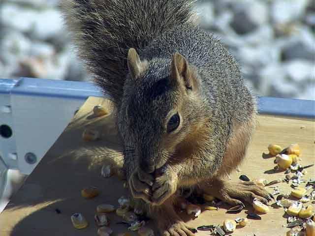 Foxsquirrels14.jpg