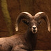 rocky mountain bighorn sheepbig horn sheepanimal