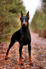 Devvu (Devilstar) Tags: autumn dog outdoors leaf holding doberman pinscher dobermann koer hainide bekebiene