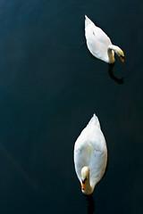 Dos Cisnes Blancos (ruhey) Tags: bird animal canon fly photo swan foto wing pico ala pluma pajaro fotografia cisne xsi volar 450d photografi 1855is