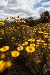 wanniassa hill (laurenfarmer) Tags: trees dogs clouds dad walk dry brush canberra eucalyptus banks tukka fadden wanniassahill