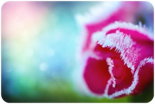 Frosty Pink-Petaled Wonderland
