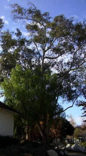 Reyes Adobe Eucalyptus