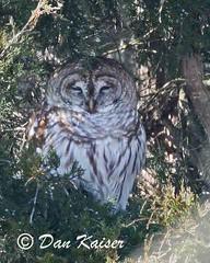 Hidden Barred Owl (dhkaiser) Tags: county tree dan jackson hidden owl cypress kaiser barred nwr ias muscatatuck