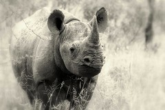 Black Rhino portrait. (Peter G Hall) Tags: black rhino kruger bfgreatesthits