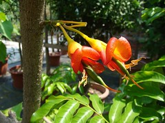 Castanospermum australe (tyrrhenos) Tags: blackbean fabaceae castanospermumaustrale castanospermum arfp mortonbaychestnut nswrfp qrfp arfflowers orangearfflowers tropicalarf subtropicalarf