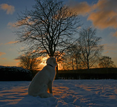 Ditte enjoys the winter sunset (Ingrid0804) Tags: trees winter friends sunset sky dog snow cold clouds goldenretriever denmark silhouettes topseven specialpicture anawesomeshot impressedbeauty goldstarward 100commentgroup saariysqualitypictures