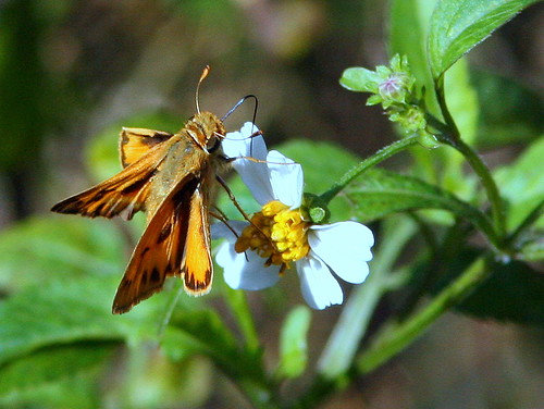 Fiery Skipper 20100118