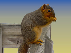Mr. Innocent (Laramie_Coyote) Tags: nature animal animals squirrel specanimal flickrdiamond damniwishihadtakenthat alittlebeauty printedalready imagesforthelittleprince pogchallengewinners btglevel1 rainbowelite