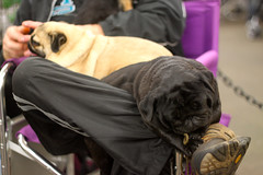 Golden Gate Kennel Club Dog Show: Pugs