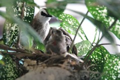 while the older one suddently readied to fly (stephen nah) Tags: bulbul yellowventedbubul
