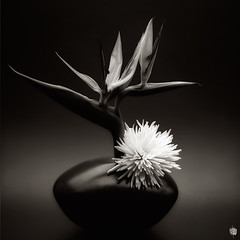 >|* (vernontrent) Tags: light shadow bw stilllife flower mood fineart blackwhitephotos fomafomapan vernontrent film:iso=100 wwwvernontrentcom wwwxoveripinfo film:brand=foma developer:brand=agfa film:name=fomafomapan100 agfar09oneshot developer:name=agfar09oneshot filmdev:recipe=5647 nrwf