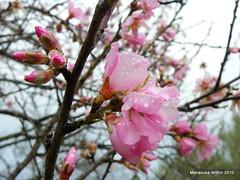 raindrops on almond flowers (Marlis1) Tags: spain raindrops catalunya rosaceae almondflower almondtrees prunusdulcis marlis1