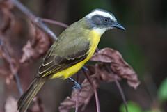 Social Flycatcher (sjdavies1969) Tags: birds animals panama socialflycatcher myiozetetessimilis animalia coln vertebrates tyrannidae tyrantflycatchers