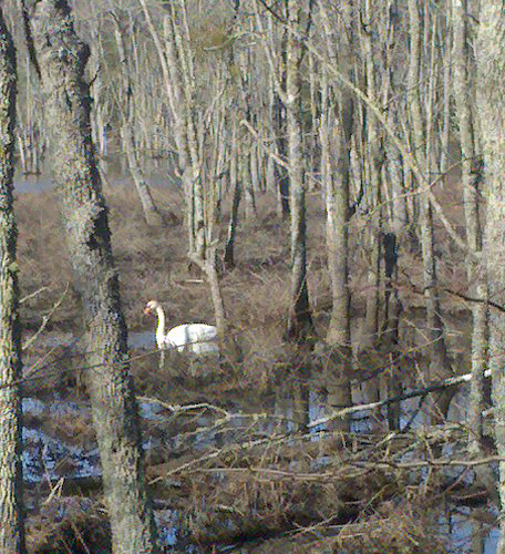 Newport News Park - Swan in a Swamp (Cropped)