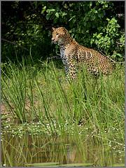 Young Sri Lanka Leopard (Sara-D) Tags: cats young spots leopard species srilanka endangered bigcats yala endangeredspecies panthera pantherapardus blueribbonwinner pardus srilankaleopard pantheraparduskotiya kotiya flickrbigcats youngsrilankaleopard