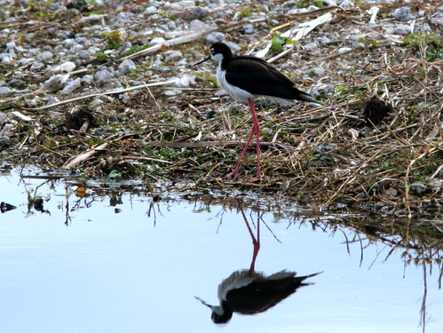 Black-necked Stilt 2-20100215