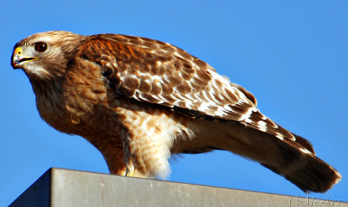 Red Shouldered Hawk - 67/365