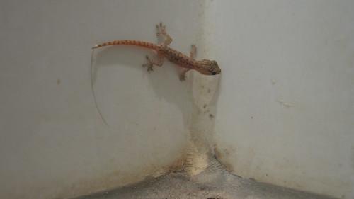 Lucky gecko