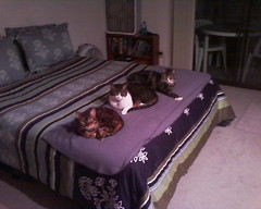 Our Three Cats (Greg69Sheryl) Tags: cats alex geisha chip bengals