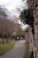 abbey park wall 3 (zaphad1) Tags: pentax smc takumar 14 50 mm 50mm leicester uk east midlands m42 bokeh shallow narrow dof depth focus field zaphad1 creative commons