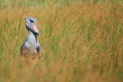 Shoebill / Balaeniceps rex (Sergi Aris) Tags: uganda storks lakevictoria shoebill rarebirds wildlifeafrica birdsafrica picozapato birdingafrica