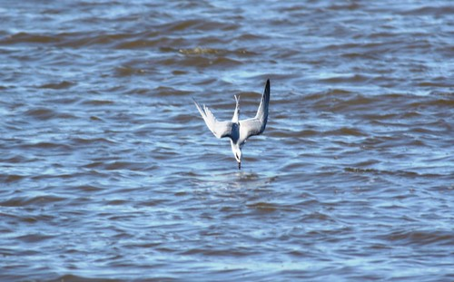 Forster's Tern - fishing #3