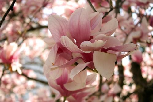 Japanese Magnolia (My Granny called it a Tulip Tree!)
