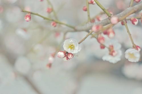 フリー画像| 花/フラワー| 梅/ウメ|         フリー素材|